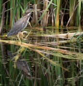 Heron today, turtle tomorrow, http://wp.me/p1yRFa-4D4