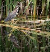 Heron today, turtle tomorrow, http://wp.me/p1yRFa-4D4